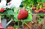 Как подкормить осенью клубнику