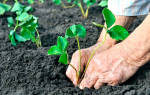 Как правильно высадить клубнику осенью