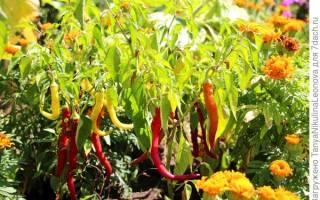 Как выращивать острый перец