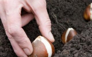 Как и когда садить тюльпаны осенью