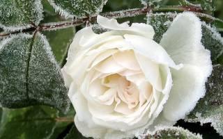 Как готовить розы к зиме если они до морозов цветут