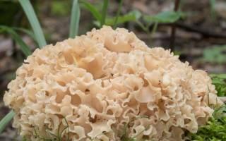 Грибная капуста гриб как готовить