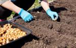 Как правильно сажать озимый лук