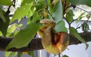 Как заставить абрикос плодоносить