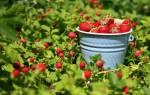 Как добиться хорошего урожая клубники