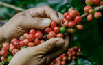 В каких странах растет кофе
