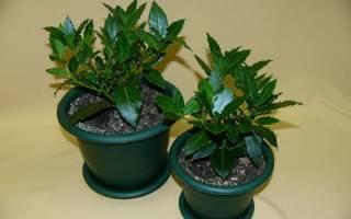 Как выращивать лавровый лист дома
