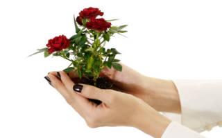 Как вырастить куст розы из розы