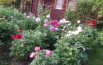 Как пересаживать пионы летом