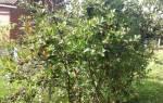 Как пересадить черноплодную рябину осенью на новое место