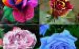 Как выращивать розы из семян в домашних условиях из китая