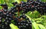 Как называется куст с черными ягодами