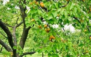 Как правильно и когда обрезать абрикос