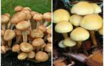 Как выглядят грибы маслята