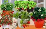 Как правильно выращивать клубнику ремонтантную
