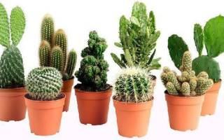 Как отсадить детку кактуса