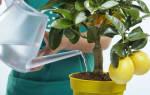 Как поливать лимон в домашних условиях в горшке