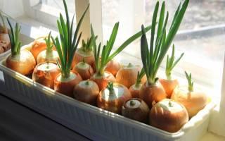 Как вырастить дома лук на подоконнике