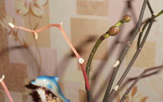 Как вырастить детки орхидеи