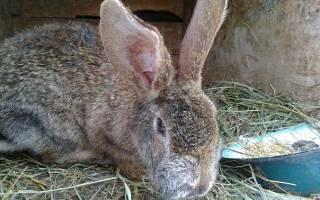 Как передается миксоматоз у кроликов
