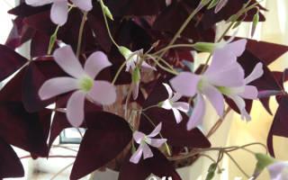 Как называется растение листики которого похожи на листья клевера