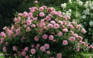 Как на зиму укрывать розы парковые