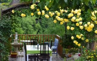 Как вырастить розу вьющуюся