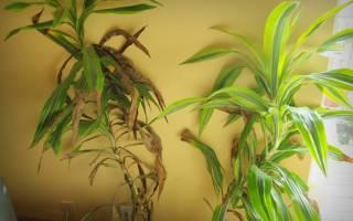 Драцена лемон лайм уход в домашних условиях