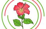 Как нарисовать китайскую розу