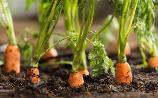 Ботва моркови вред и польза и вред