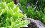 Как нарисовать растение хоста