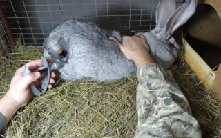 Как делать прививки кроликам 2 месяца