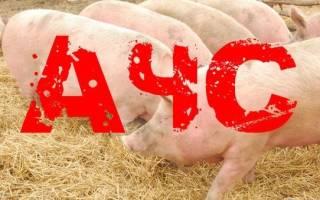 Как передается чума свиней