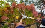 Как осенью обрезать гортензию на зиму