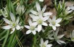 Белые цветы как звездочки