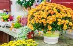 Как обрезать хризантему в горшке