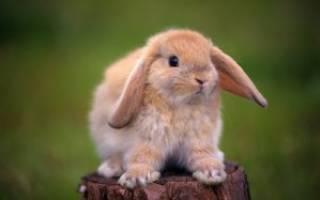 Как колоть байтрил кроликам