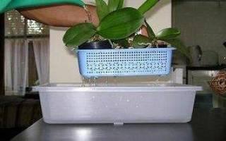 Как поливать орхидею в домашних условиях в горшке