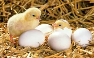 Вывод яиц в инкубаторе в домашних условиях