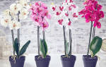 Как пересадить правильно орхидеи