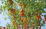 Как подкормить абрикосы осенью