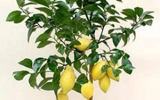 Как вырастить лимон из косточки в домашних условиях с плодами пошагово