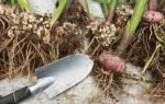 Как правильно выкопать гладиолусы осенью