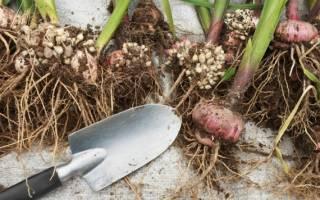 Как выкапывать осенью гладиолусы