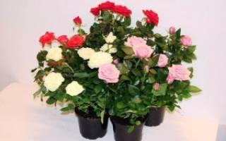 Домашние розы в горшках как за ними ухаживать
