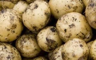Как вырастить картофель из семян в домашних