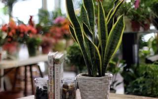 Как выглядит сансевьера цветок