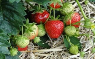 Как поливать клубнику во время цветения и плодоношения