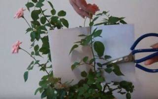 Как правильно подстричь комнатную розу