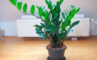 Как пересаживать долларовое дерево в домашних условиях